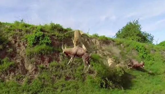 Vida salvaje: leona atrapa a un antílope en el aire [VIDEO]