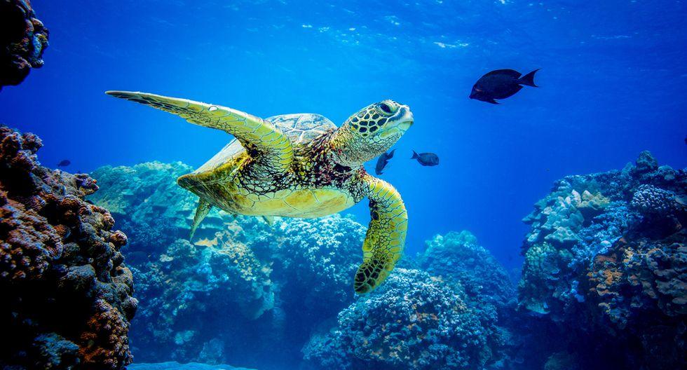 Si haces snorkel verás tortugas y corales. (Foto: Shutterstock)