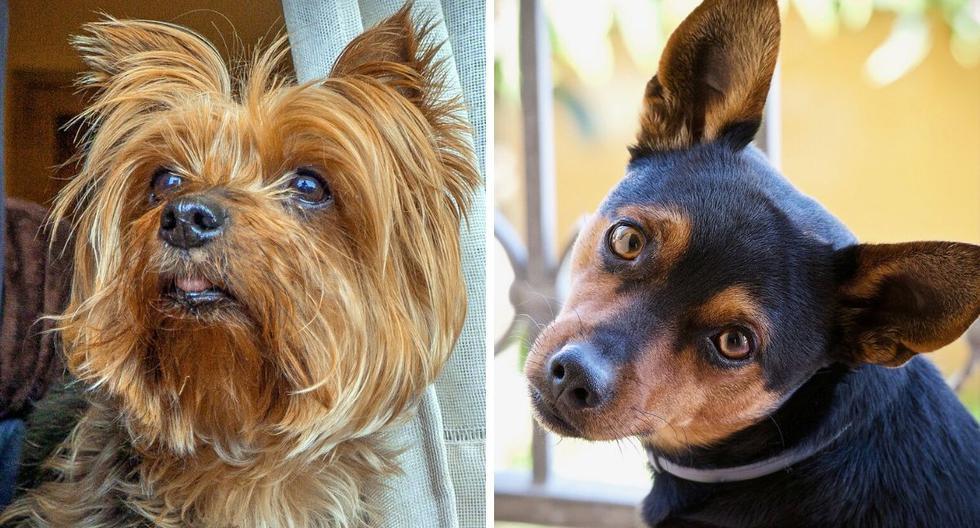 FOTO 1 DE 5 | El video viral de estos adorables perros causó revuelo en TikTok. | Crédito: Pexels/Referencial. (Desliza hacia la izquierda para ver más fotos)