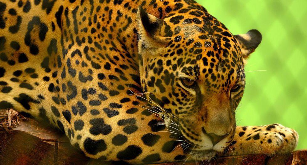 El exitoso proyecto se convierte en una posibilidad para la conversación de especies. (Foto: Referencial/Pixabay)