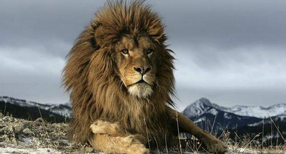 El léon: el animal que fue víctima de su propio poder