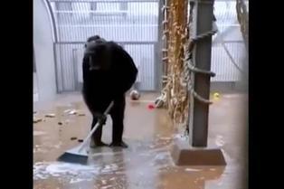 Video viral muestra a chimpancé barriendo y limpiando su jaula