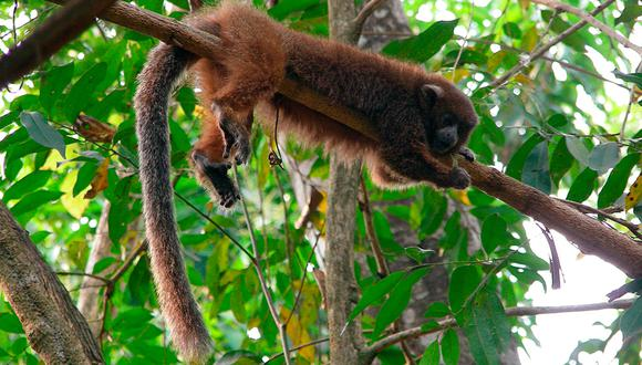 El Plecturocebus modestus es uno de los dos monos endémicos de Bolivia. Se encuentra en Peligro de extinción. Foto: Jesús Martínez / WCS