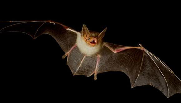 Los quirópteros, conocidos comúnmente como murciélagos,  son un orden de mamíferos placentarios cuyas extremidades superiores se desarrollaron como alas (Foto: EFE)