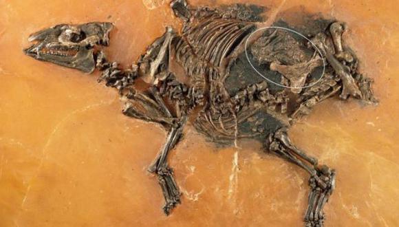 Hallan el feto fosilizado de un antepasado de los caballos