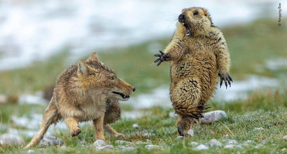 Las protagonistas de la imagen son una hembra de zorro tibetano y una marmota himalaya. (Foto: Yongquing Bao)