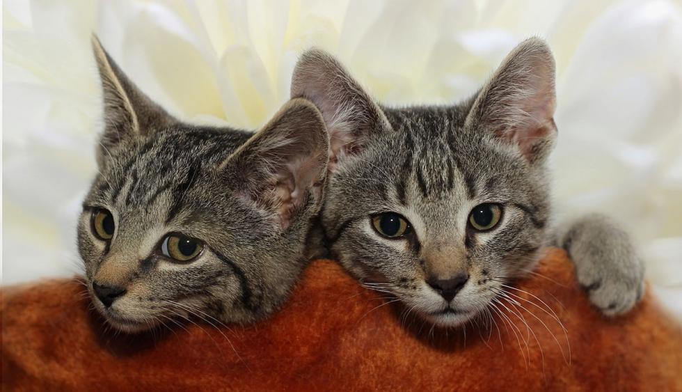Los dos felinos son culpables de que miles se hayan reído a carcajadas. (Pixabay / guvo59)