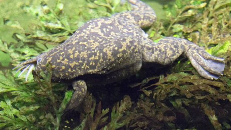 La rana Xenopus laevis es originaria de Sudáfrica. (Getty Images)