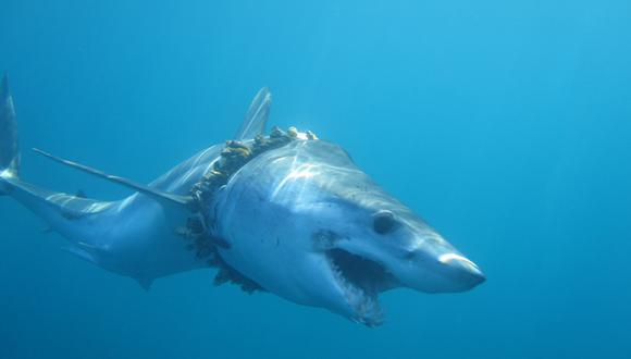 Tiburón mako de aleta corta adulto enredado en cuerda de pesca (bioincrustada con percebes) en el océano Pacífico, lo que le causa escoliosis en la espalda. Foto: Daniel Cartamil.