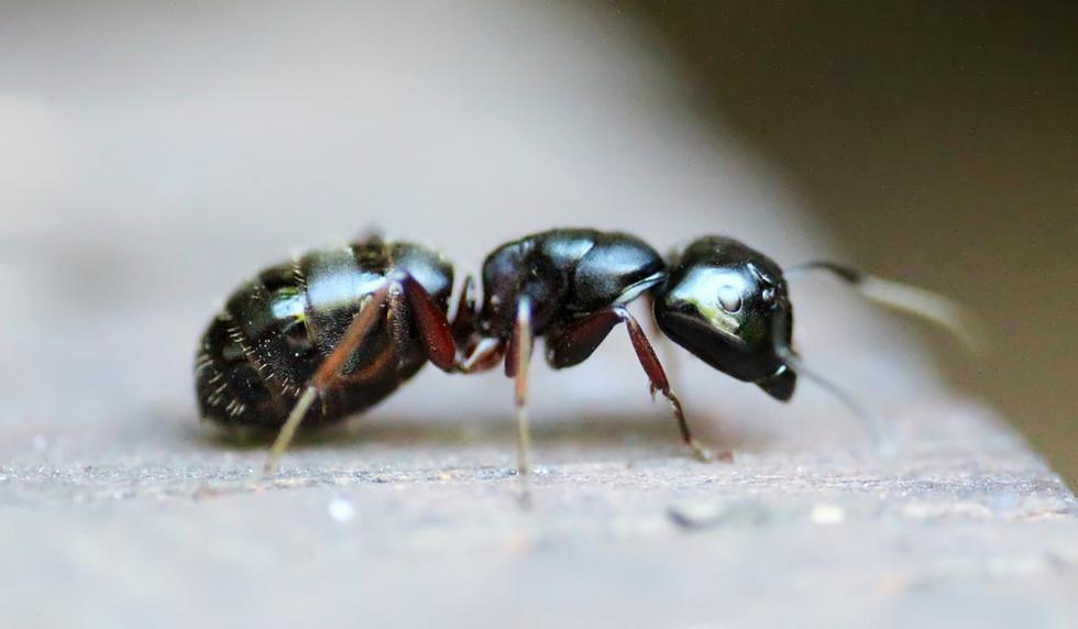 Los insectos fueron estudiados por un equipo de biólogos dirigido por Wojciech Czechowski, profesor de la Academia de Ciencias de Polonia. (Foto: Referencial/Pixabay)