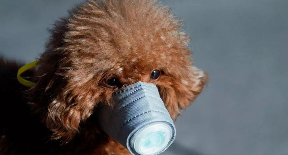 Un perro con una máscara se ve en una zona comercial principal, en el centro de Shangai, China, mientras el país se ve afectado por un brote de un nuevo coronavirus. (Foto: Reuters)
