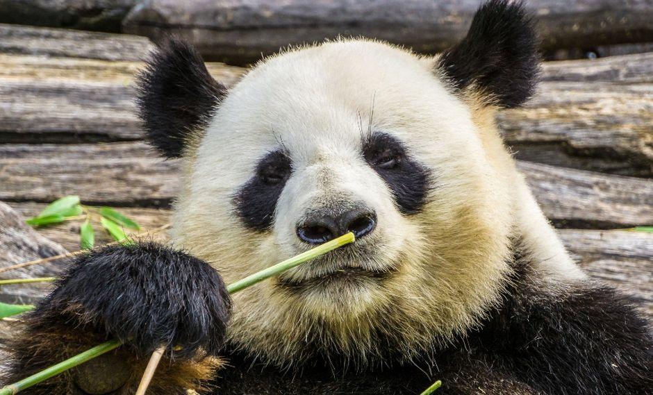 Muchos quedaron sorprendidos tras ver el video del panda en YouTube. (Referencial - Pixabay)