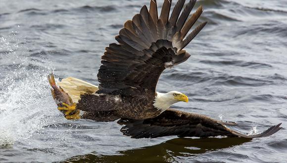 Un pulpo gigante intentó ahogar a un águila calva que se había abalanzado sobre él. (Pexels)