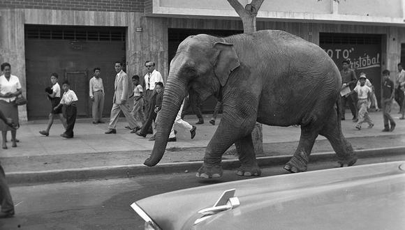 """""""Mary Jumbo"""" era el nombre de la joven elefanta de seis años de edad y seis toneladas de peso. No quiso subirse a un camión y la única forma que descubrieron fue dejarla caminar con libertad hasta su nueva casa. Era enero de 1959. (Foto; GEC Archivo Histórico)"""