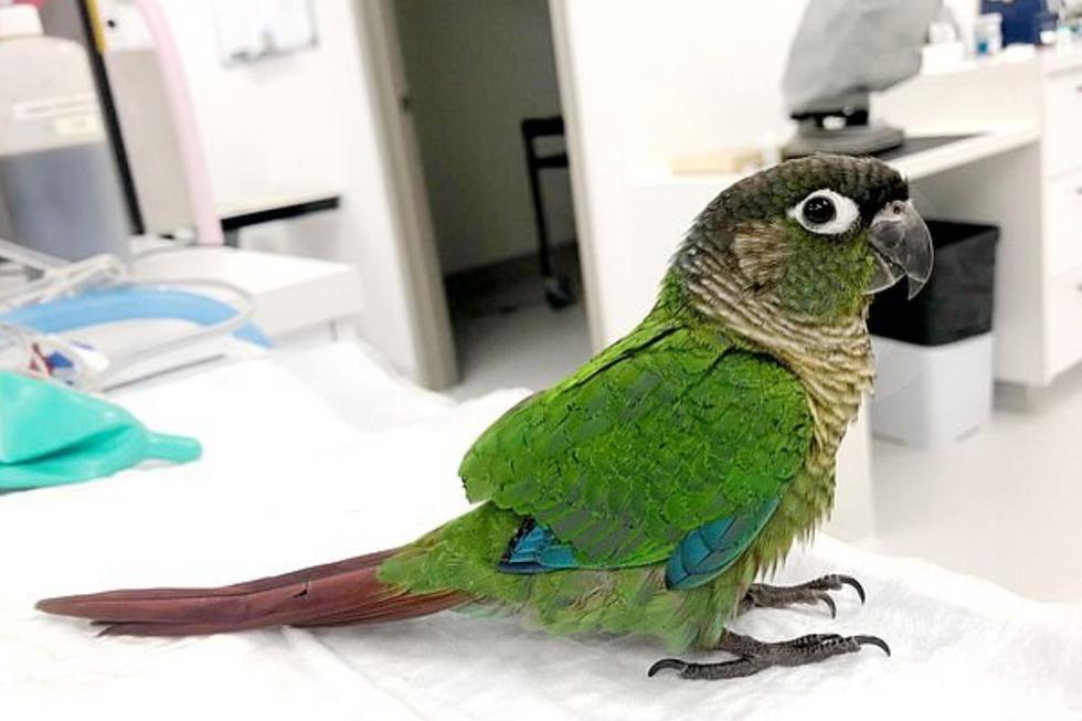Wei Wei un loro de mejillas verdes que sufrió un severo corte de alas (Foto: Caters News Agency)