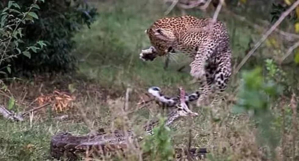 Los depredadores se enfrascaran en una pelea para determinar la supervivencia del más fuerte. (Foto: latestsightings.com)