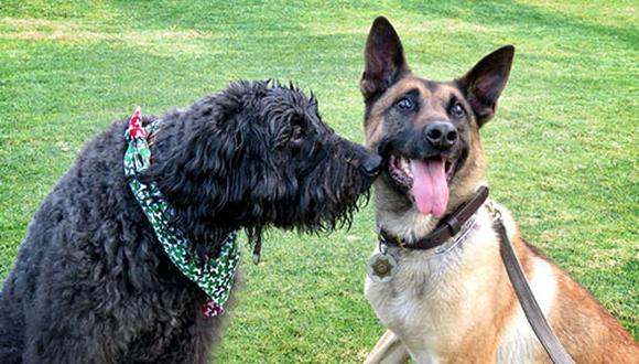 Los perros tienen un órgano vomeronasal que les permite oler cosas que no se pueden percibir; es decir, las hormonas que liberan los animales.