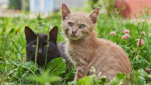 Saber como lograr que dos gatos se lleven bien es importante para asegurar una buena convivencia. (Foto: Pexels)
