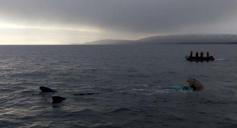 La ballena quedó enredada en una red de pesca en las proximidades de Puerto Williams, localidad de la isla Navarino, a unos 3.400 kilómetros al sur de Santiago, en la Patagonia.   Foto: EFE