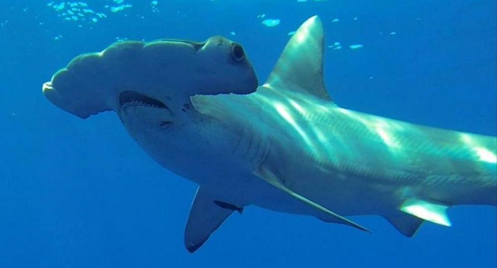 Los tiburones martillo se encuentran en peligro de extinción. (AP)