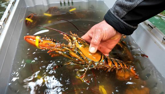 En Nueva Zelanda, vuelven a soltarse langostas de nuevo a la naturaleza. (Foto: EFE/ Cristobal Herrera)