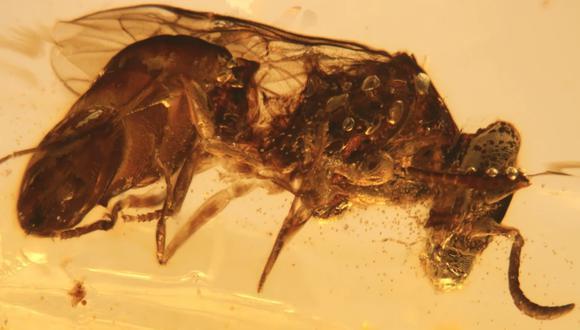 El fósil marca un hito en los estudios sobre la historia de la polinización. (Foto: Nature)