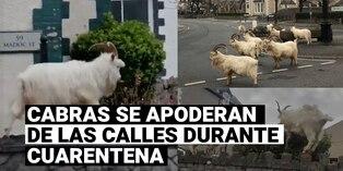 Cabras salvajes toman las calles de Gales durante cuarentena por COVID-19