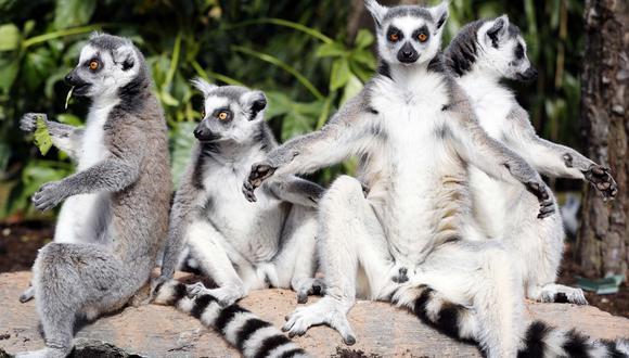Al menos dos tipos de lémures, especies emblemáticas de Madagascar amenazadas por la deforestación, podrían ver más del 90% de su hábitat desaparecer de aquí a 50 años por efecto del cambio climático. (Foto: AFP/Referencial)