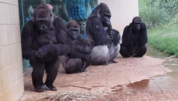 Los gorilas, al parecer, reaccionan de la misma manera que los humanos al toparse con una lluvia. (Foto: Brooke Hunsinger en Facebook)