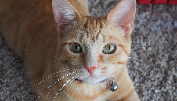 Los gatos. aunque no salgan de sus casas, contraer parásitos, por lo que deben ser llevados al veterinario (Foto: Pixabay)