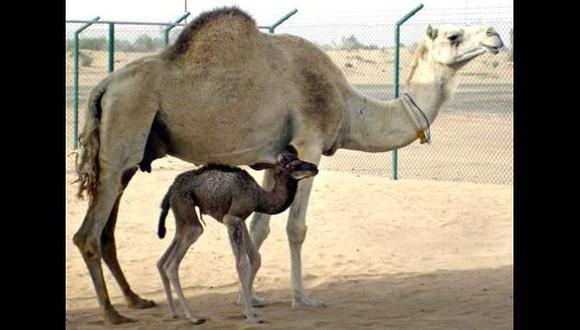 La primera camella clonada dará a luz a fines de año en Dubái