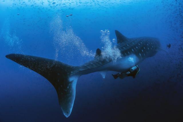 La ciencia todavía tiene muchos misterios por resolver en torno al tiburón ballena. Foto: Jonathan Green