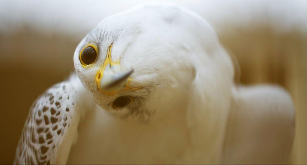 Un halcón es retratado en el Nebli Falcon Center en Fuentespina, España. (Foto: Gabriel Bouys/AFP)