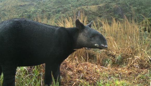 Imagen de cámara trampa del tapir de montaña (tapirus pinchaque) Foto: SBC Perú.