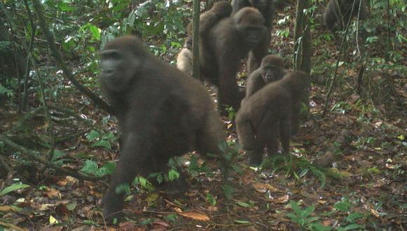 gorilas del Río Cross. Imagen de WCS Nigeria