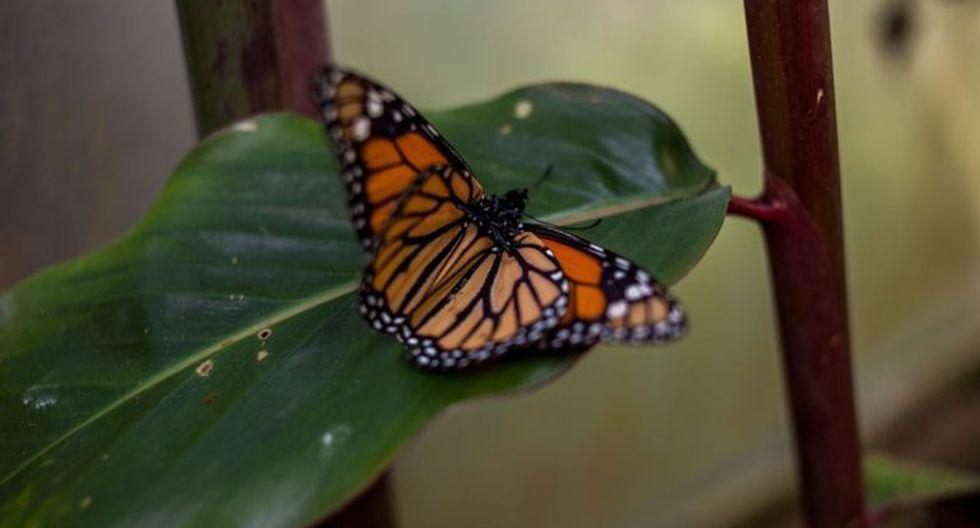 La mariposa monarca se alimenta de una planta venenosa y conserva pequeñas dosis de la toxina en su cuerpo. (Foto: Getty)