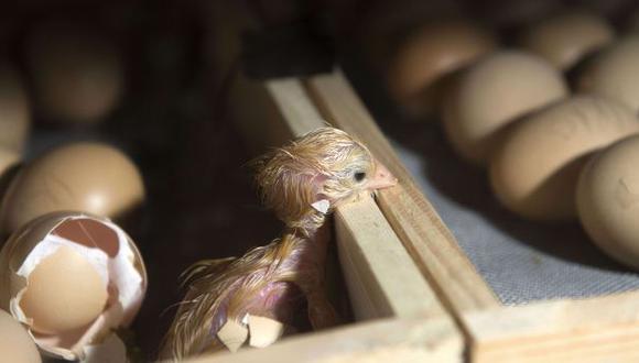 Cuba: 20 años de cárcel por robar 8 millones de huevos
