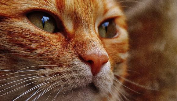 El sobrepeso en los gatos puede provocar enfermedades graves como la diabetes, la artrosis o las infecciones de orina. (Foto: Pexels)