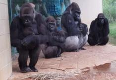 Gorilas hacen todo lo posible para evitar mojarse durante lluvia torrencial y se vuelven viral