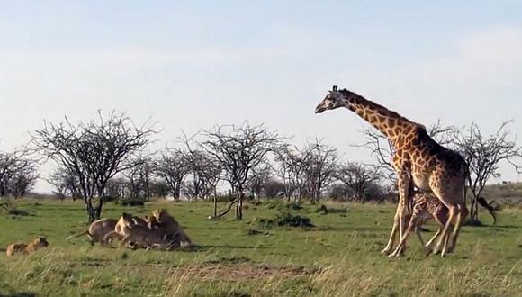 Mira a una mamá jirafa protegiendo a su cría de unos leones