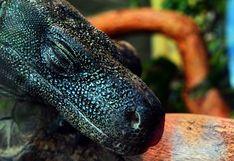 Niños salvan a dragón de Komodo del brutal ataque de pitón y desatan polémica