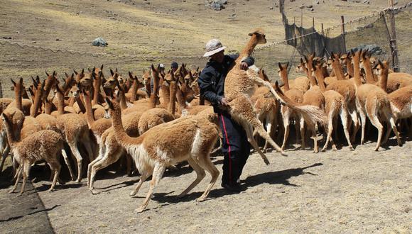 Ayacucho: 150 vicuñas fueron asesinadas por cazadores furtivos. (Foto: Jaime Quispe)