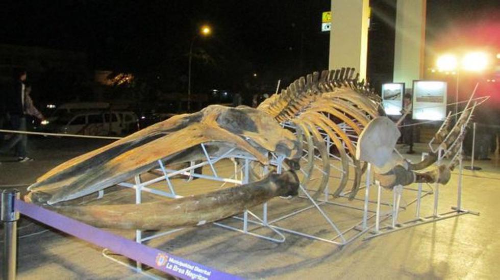 Talara: exhibieron esqueleto de ballena que varó el 2004 - 1