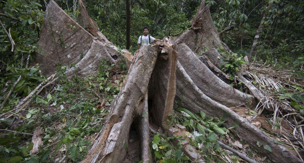 TAJO ABIERTO. Shihuahuaco (Dipteryx micrantha) de más de 700 años de edad talado en una zona no autorizada para aprovechamiento maderable. Un solo árbol atrapa 40 toneladas de carbono, un tercio del que captura una hectárea de bosque primario.