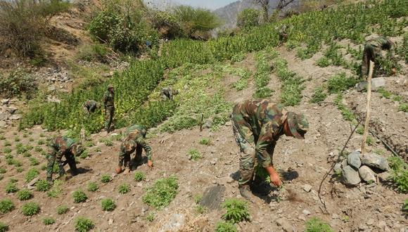 """Ayacucho: """"Los Sinchis de Mazamari"""" erradicaron 7,920 plantones de marihuana e incautaron 92 kilos del ilegal cultivo de la variedad skan o moño rojo en proceso de secado. (Foto: PNP)"""