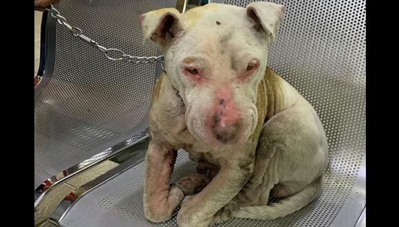 Liberación de sujeto que quemó a perra pitbull genera indignación en México. Foto: Mundo Patitas, vía El Universal de México