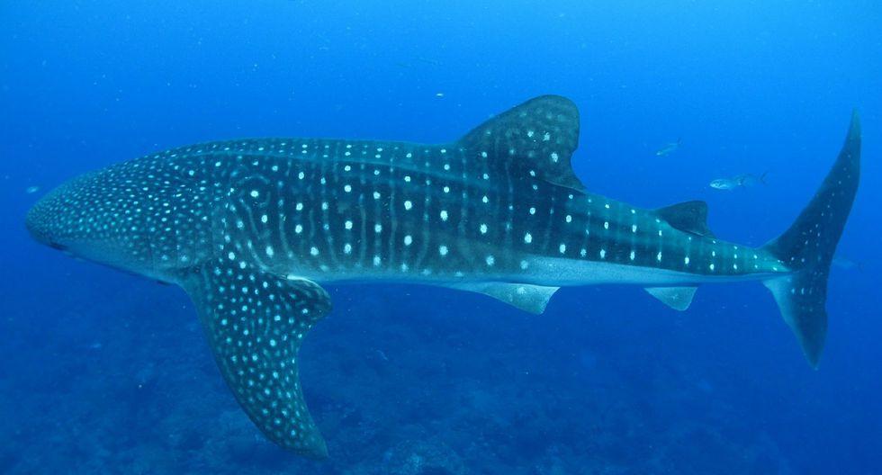 Un tiburón ballena pide ayuda a un grupo de pescadores y momento es viral en la red. (Foto: Pixabay / referencial)