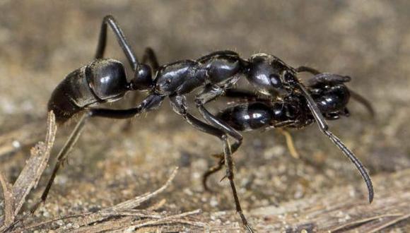 Hormigas matabele acuden al rescate de sus heridos