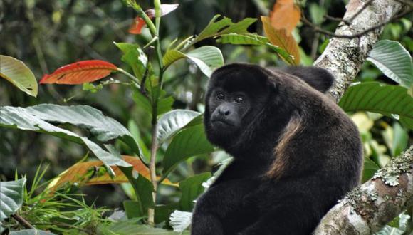 Stella De la Torre investiga actualmente al mono aullador. Foto: Irene Duch.