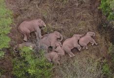 La extraordinaria imagen del descanso que se tomó la manada de elefantes que ha viajado 500 km por el sur de China